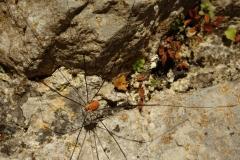 Gemeiner Weberknecht (Phalangium opilio)