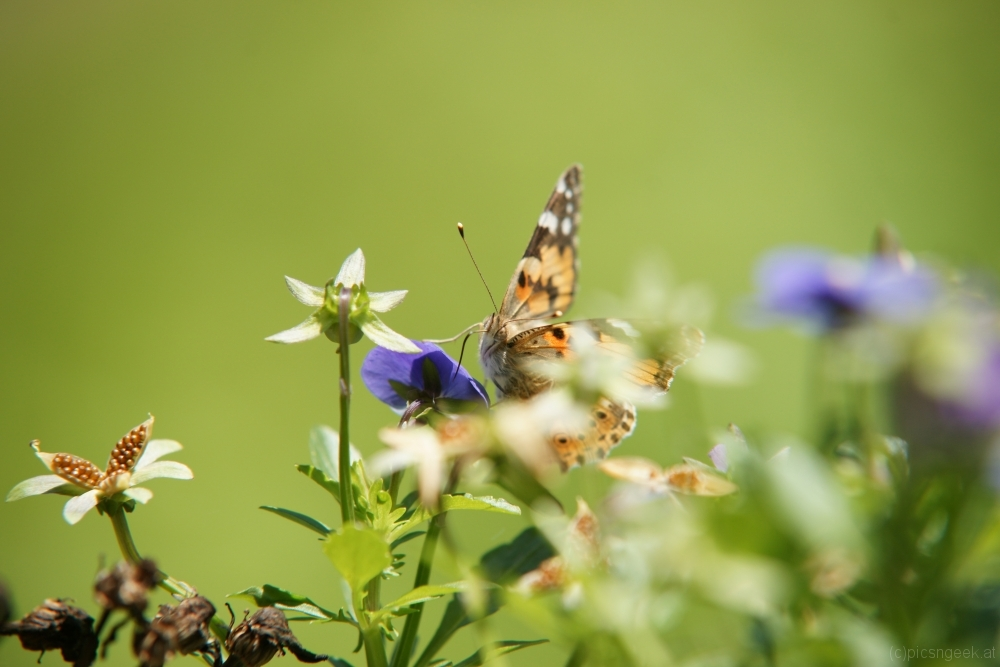 Painted lady (Vanessa cardui) at lunch